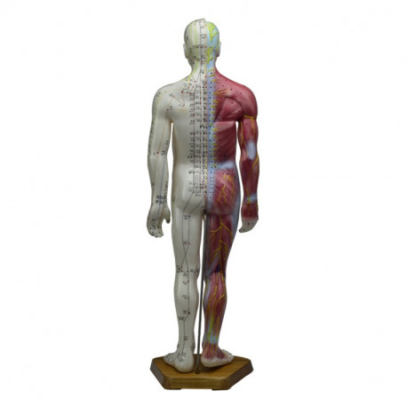 Male Acupuncture & Muscle Model 55 cm